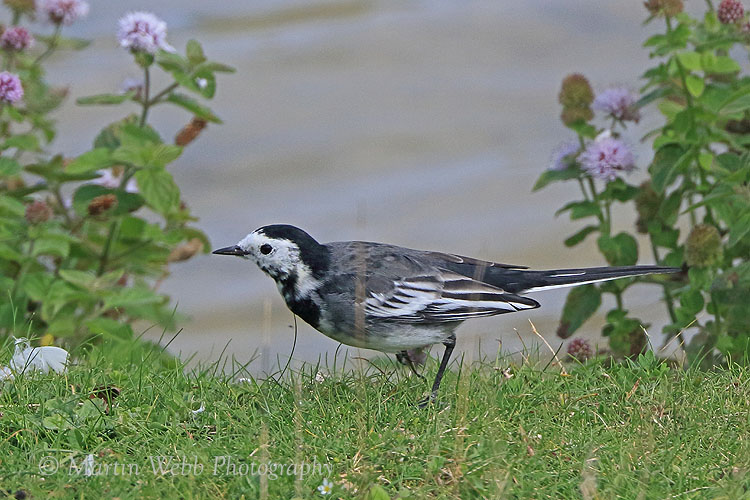 38631AC Pied Wagtail