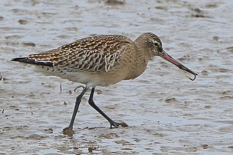 38744AC Bar-tailed Godwit