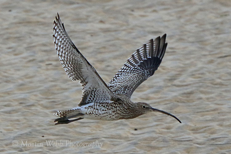 38771AC Curlew