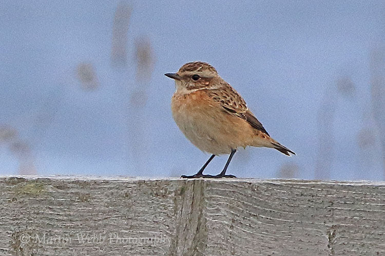 38791AC Whinchat