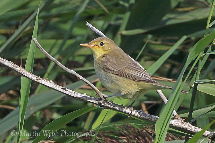 38853AC Melodious Warbler