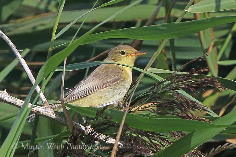 38855AC Melodious Warbler