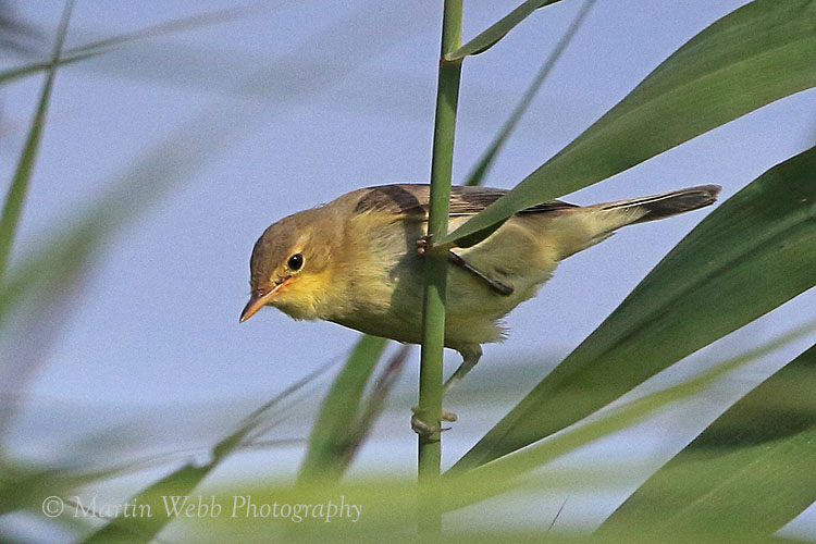 38857AC Melodious Warbler