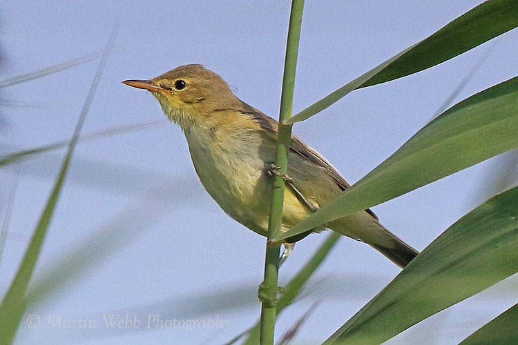 38863AC Melodious Warbler