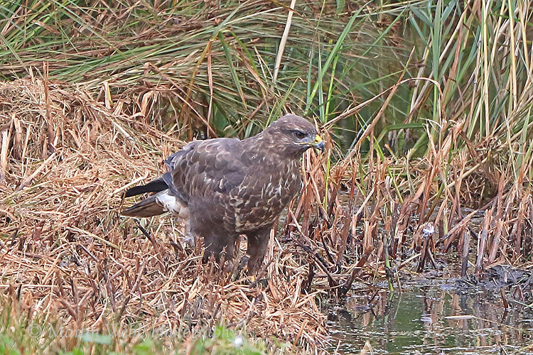 38885AC Common Buzzard