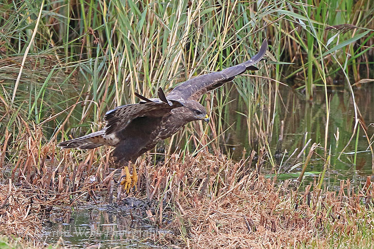 38887AC Common Buzzard