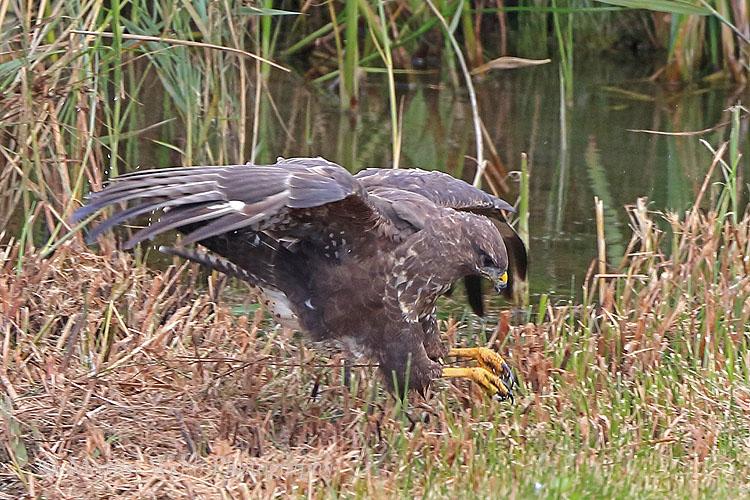 38890AC Common Buzzard