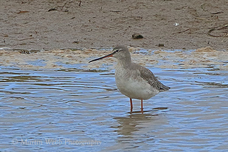 38904AC Spotted Redshank