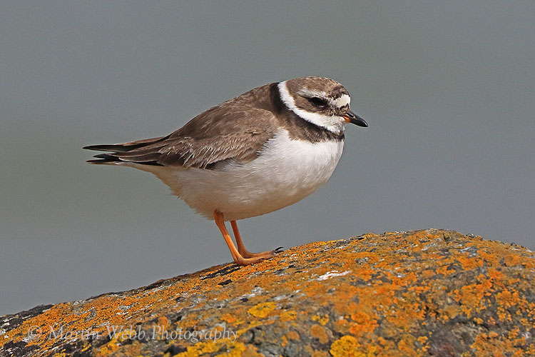 38917AC Ringed Plover