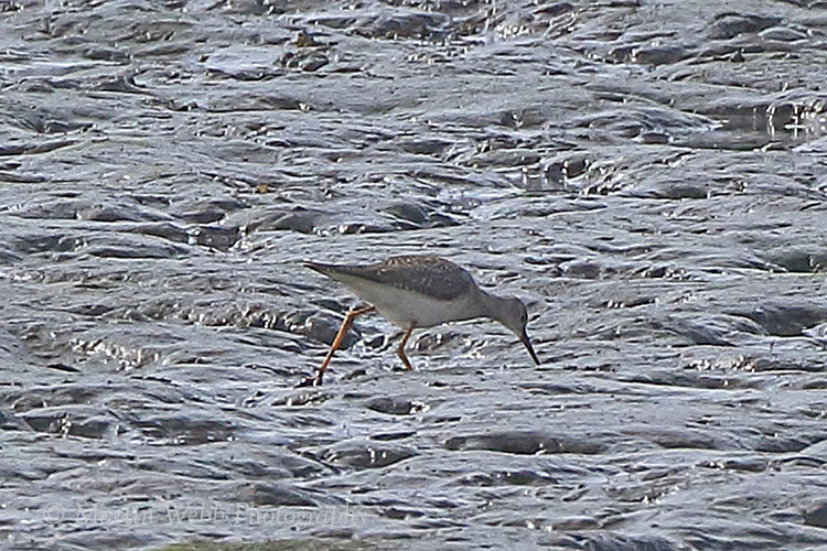 38953AC Lesser Yellowlegs