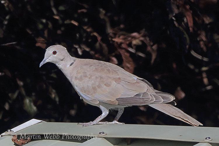 39052AC Collared Dove