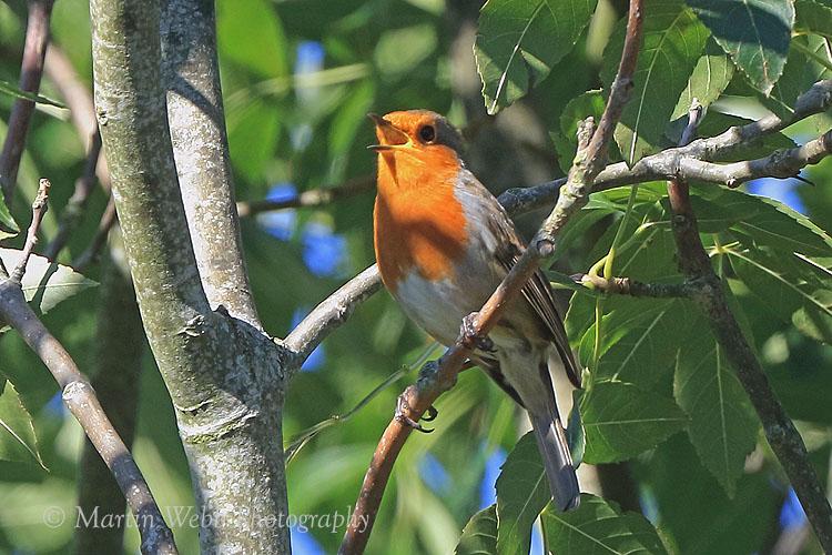 39053AC Robin