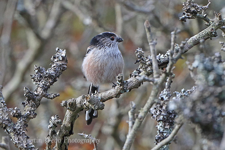39107AC Long-tailed Tit