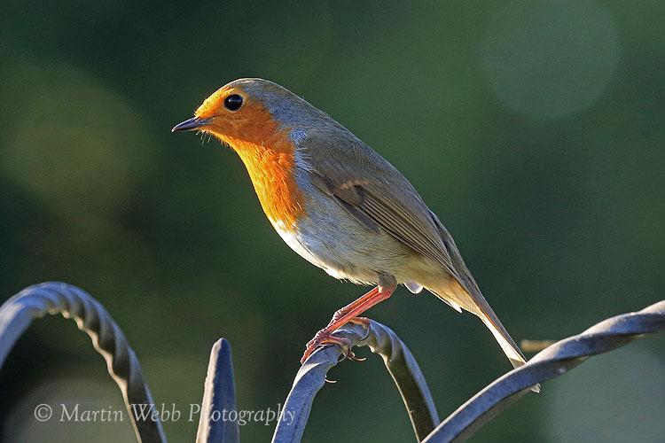 39177AC Robin