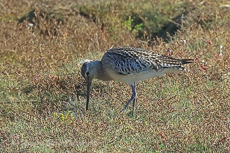 39249AC Bar-tailed Godwit