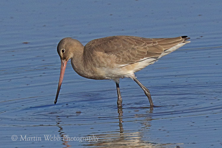 39487AC Black-tailed Godwit