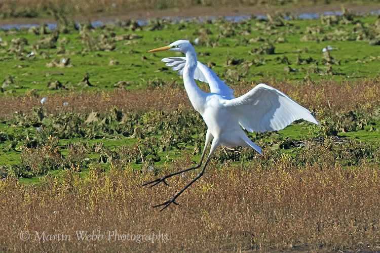 39516AC Great White Egret