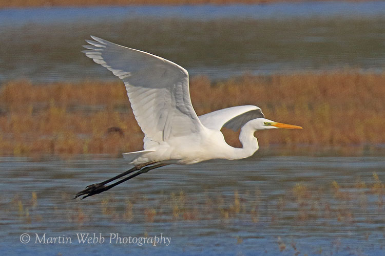 39539AC Great White Egret