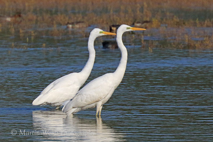 39544AC Great White Egret