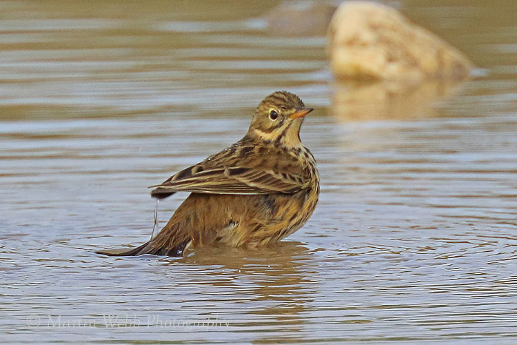 39589AC Meadow Pipit