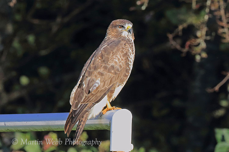 39647AC Common Buzzard