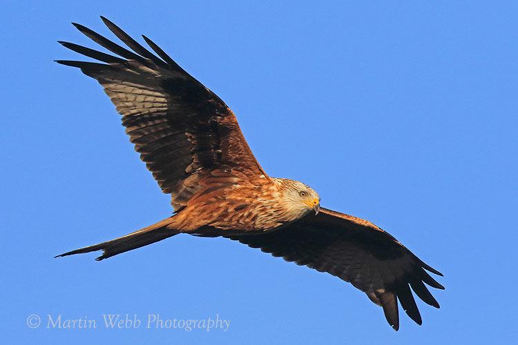 40379AC Red Kite