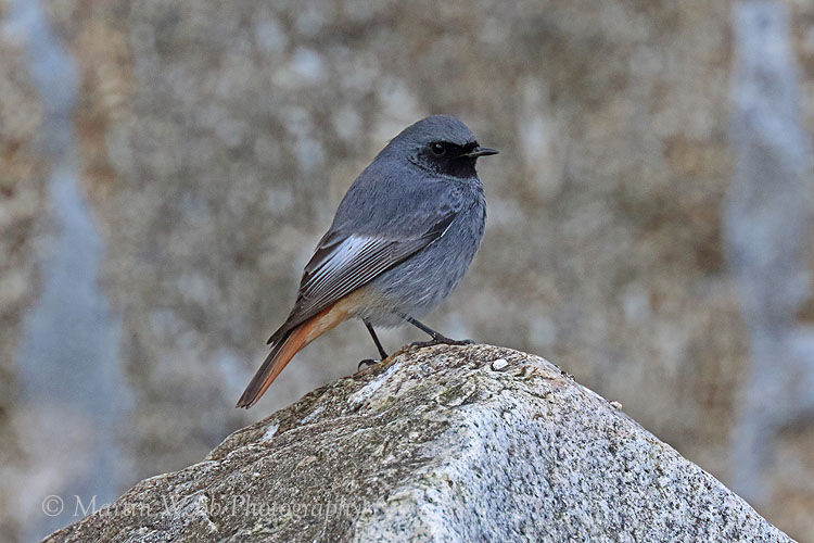 40555AC Black Redstart