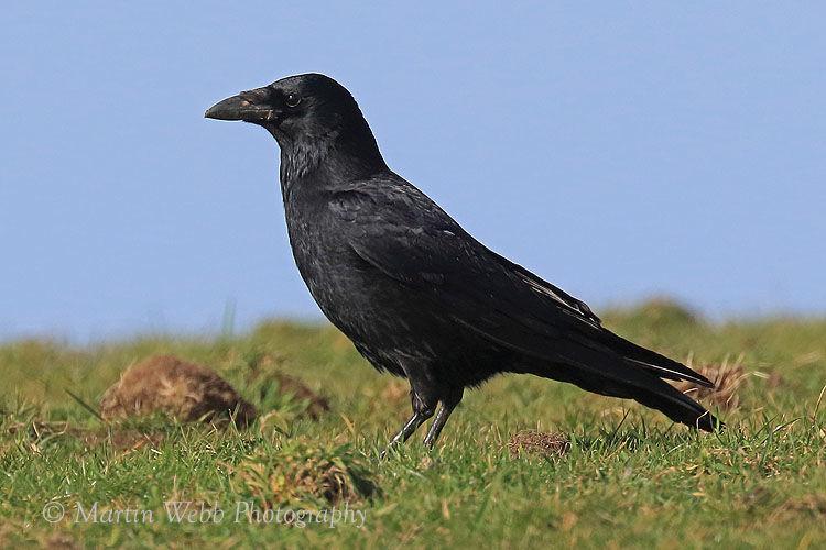 41307AC Raven