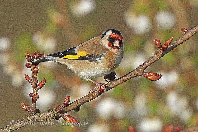 41968AC Goldfinch