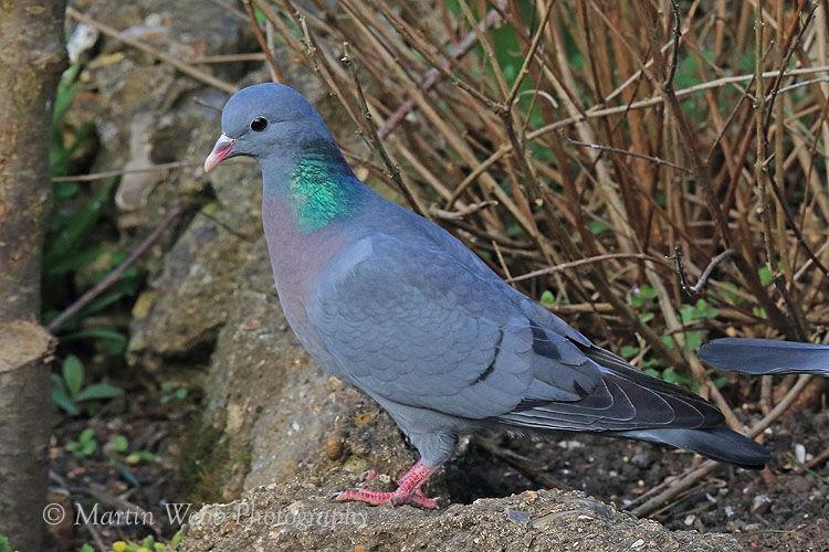 42237AC Stock Dove