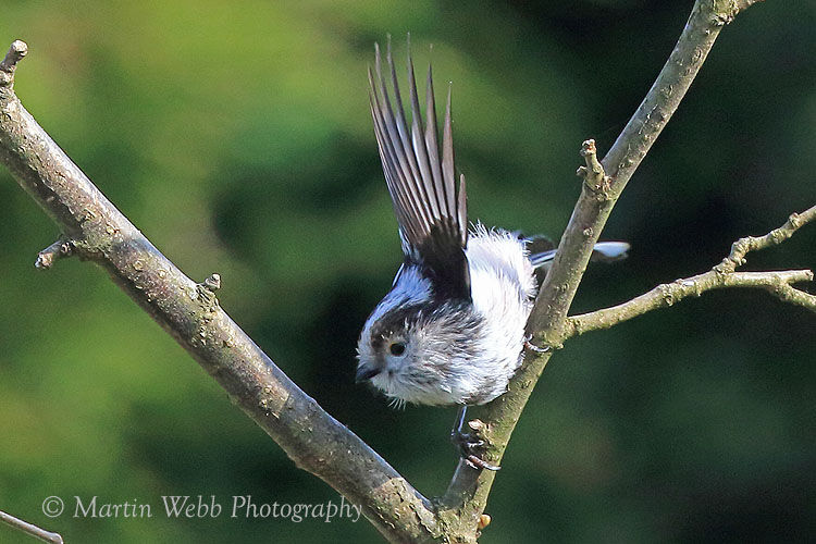 42263AC Long-tailed Tit