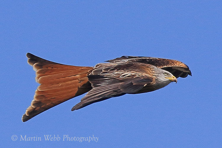 42316AC Red Kite