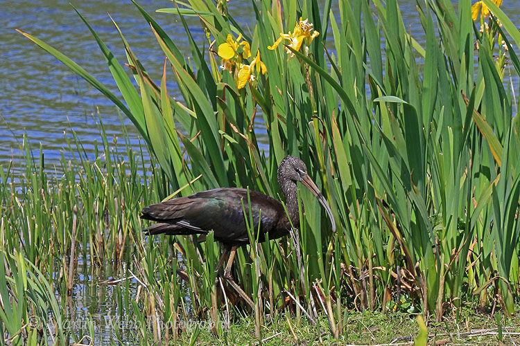 43132AC Glossy Ibis