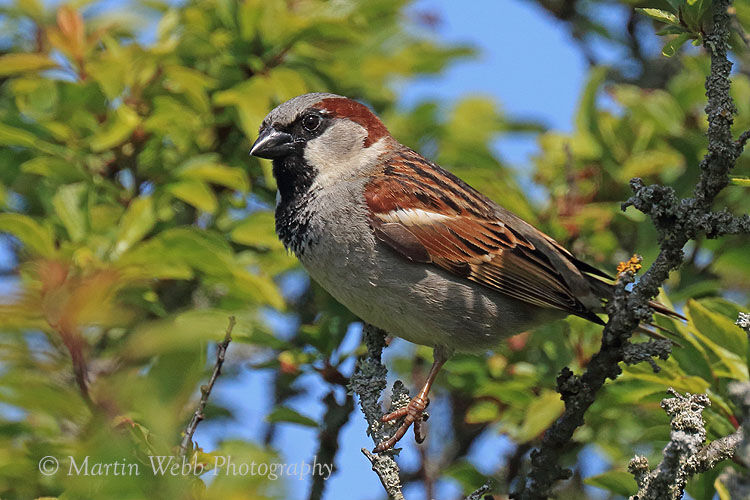 43370AC House Sparrow