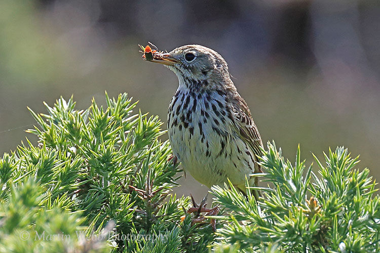 43610AC Meadow Pipit