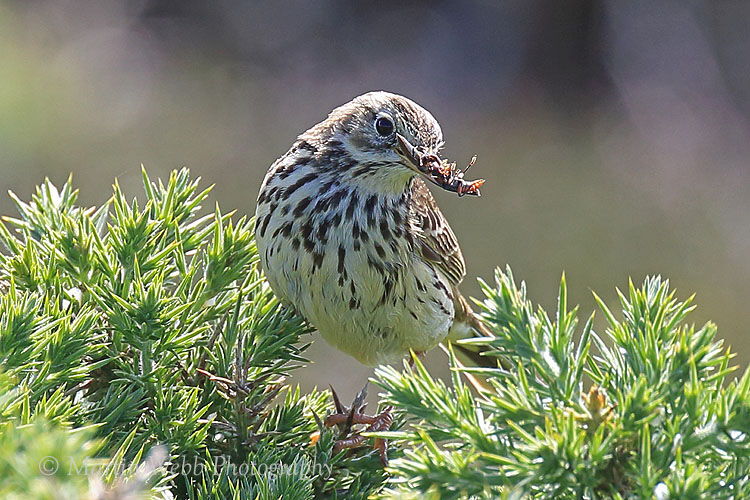 43614AC Meadow Pipit
