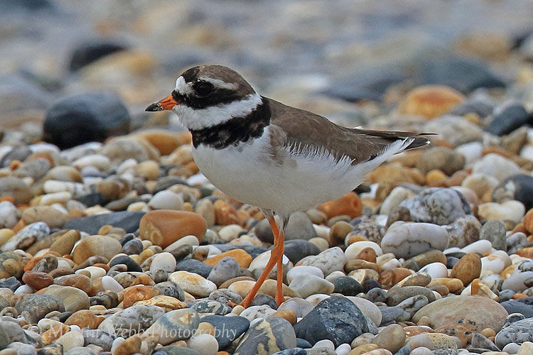 43801AC Ringed Plover