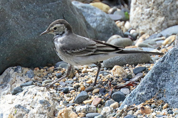 44027AC Pied Wagtail
