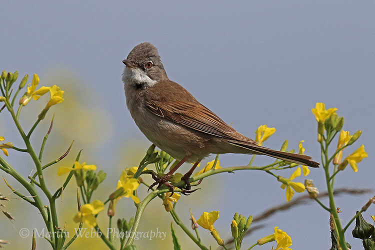 44082AC Whitethroat