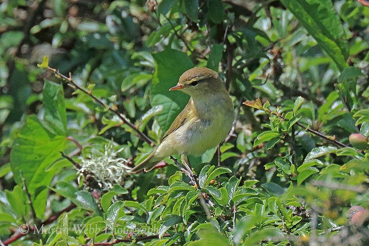 44102AC Willow Warbler