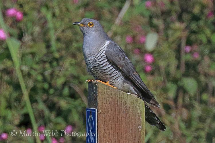 44204AC Cuckoo
