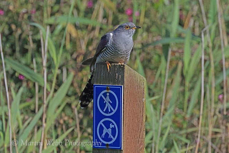 44206AC Cuckoo