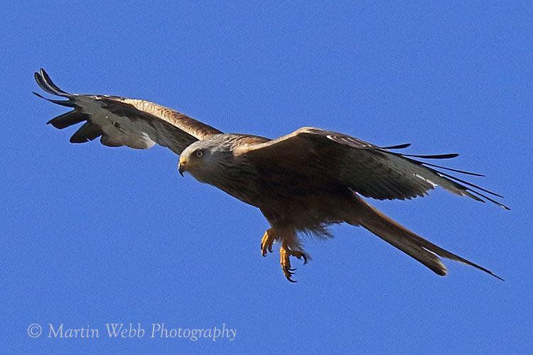 44268AC Red Kite