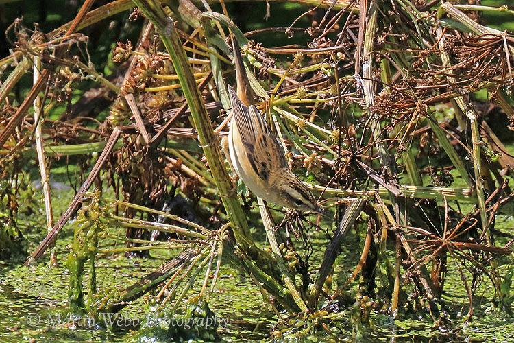 44664AC Sedge Warbler