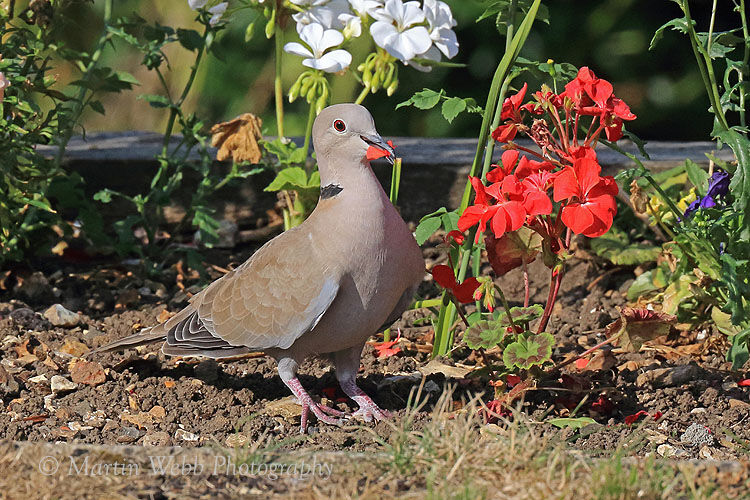 44807AC Collared Dove