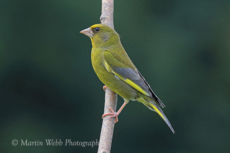 45072AC Greenfinch