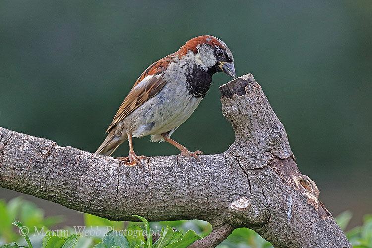 45218AC House Sparrow