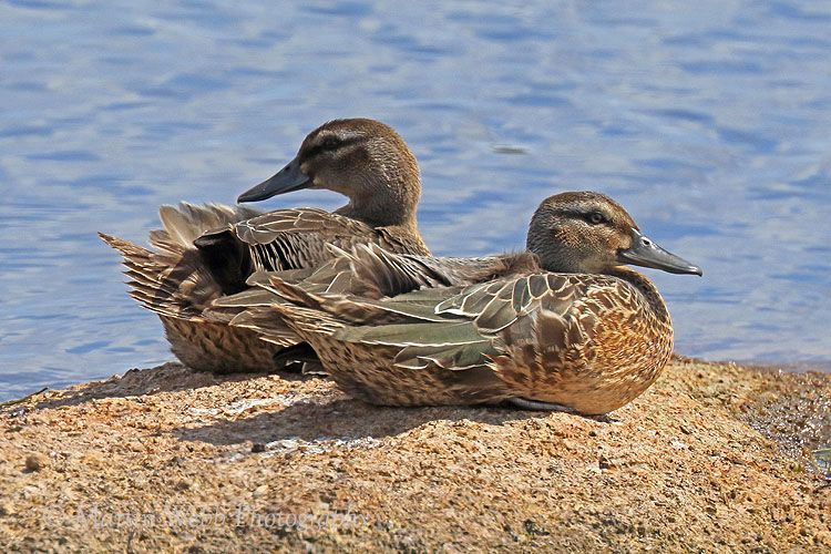 45285AC Garganey Duck