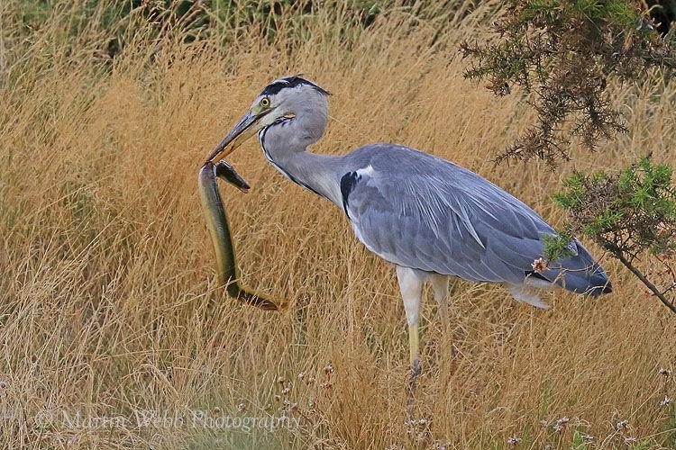 45361AC Grey Heron