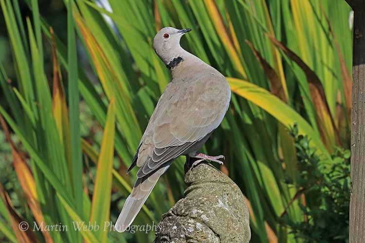 46461AC Collared Dove
